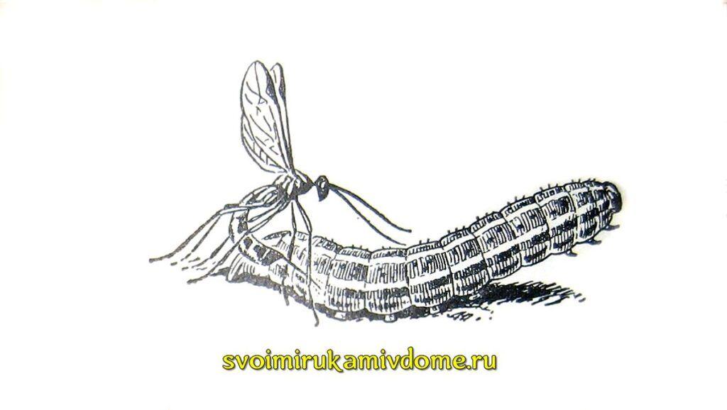 Паниск рядом с гусеницей