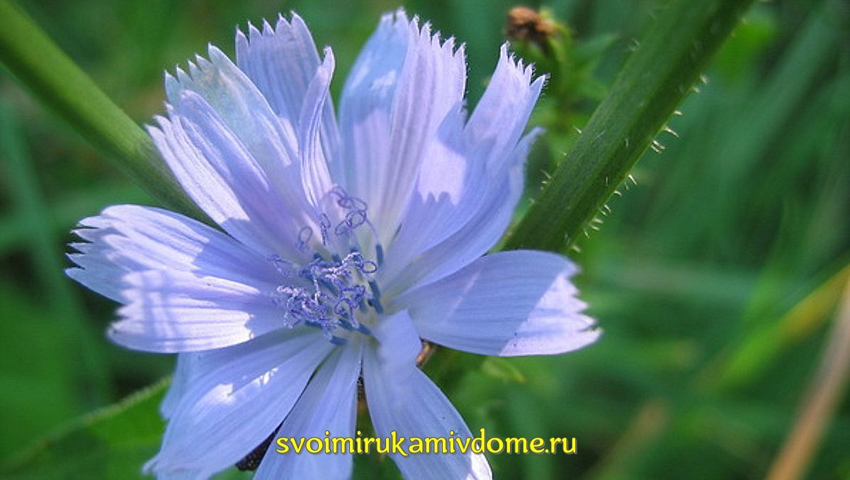 Цветок, стебель цикория