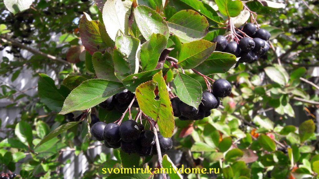 Черноплодная рябина созрела в саду