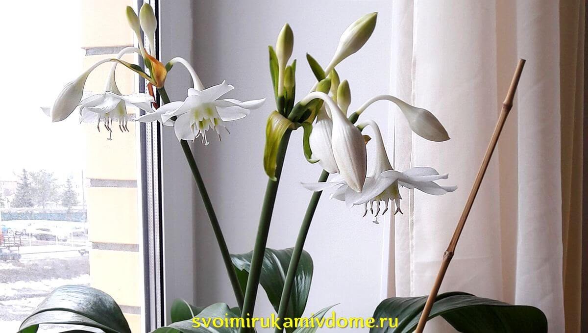 Эухарис - амазонская лилия на окне