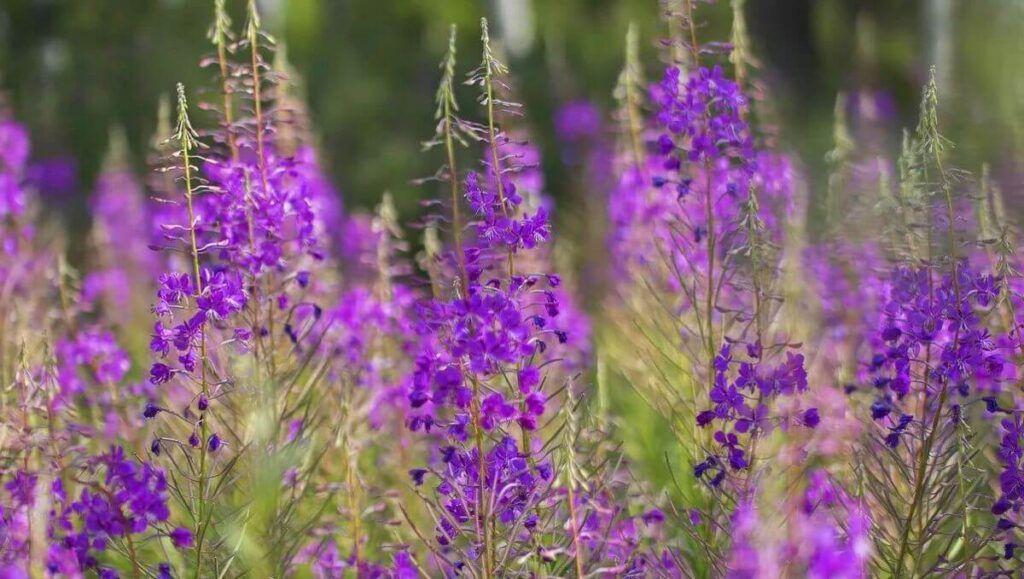 Иван-чай или кипрей цветёт