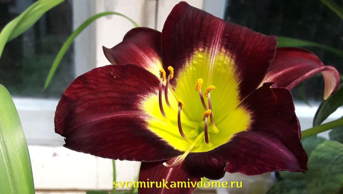 Многолетний цветок лилейник – фото, описание