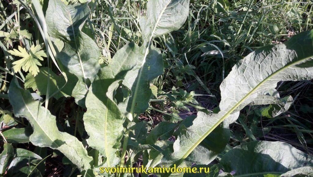 Листья щавеля конского