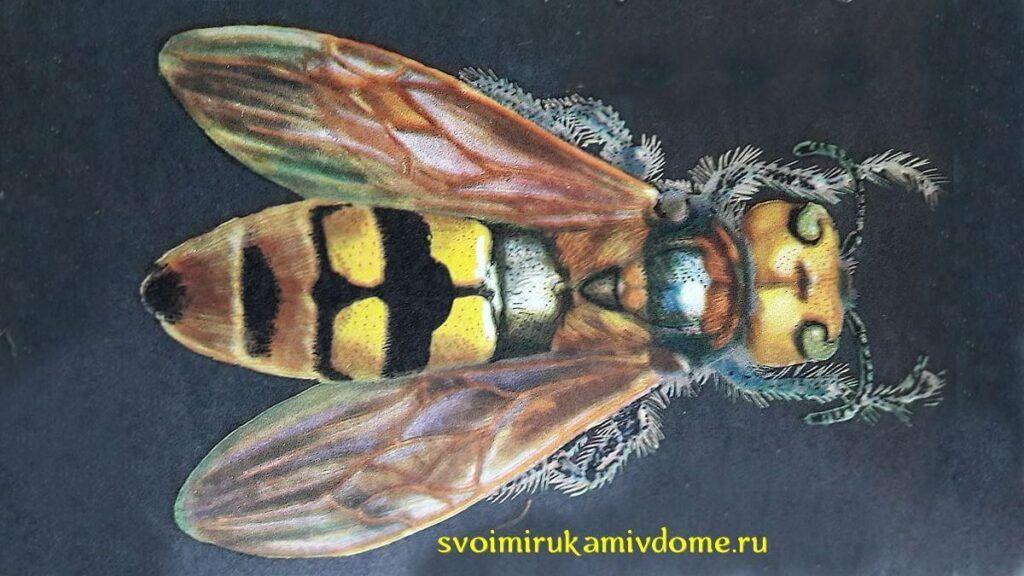 Сколия-гигант (Scolia maculata)