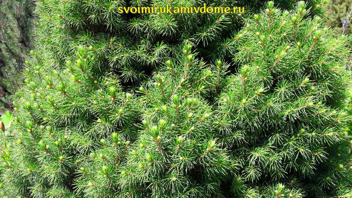 Взрослая ель-коника в июле